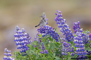 meadow pipit with lupines