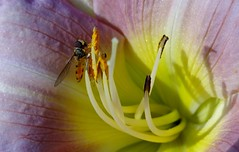 Hover Fly on a Lily. July 2017 (SimonHX100v) Tags: hoverfly insect flowerfly lily syrphidae macro macrophotography macros closeup closeupshot closeupphoto closeupphotography zoom makro macrox macrocaptures macrophoto macroworld flowers flowerlove flowerporn flowering floraandfauna flora fauna nature perspective pointofview lowpov pov depthoffield dof july july2017 summer summer2017 simonhx100v sonydschx100v sonyhx100v hx100v sonycybershotdschx100v