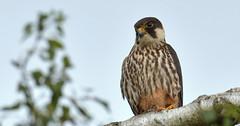 Hobby (Falco subbuteo) (KHR Images) Tags: hobby falcosubbuteo wild bird birdofprey perched falconsandallies falconidae wildlife nature sandy bedfordshire thelodge rspb nikon d500 kevinrobson khrimages
