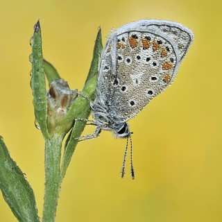 *Common Blue @ dewdrops*
