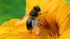 on the brink (Klaus • infrequently online •) Tags: macro nature dronefly eristalistenax mistbiene schlammbiene scheinbienenkeilfleckschwebfliege nasturtium nosetwister nosetweaker kapuzinerkresse tropaeolum schwebfliegen hoverflies sirfidi sírfidos syrphes zweefvliegen moscasdasflores ハナアブ сирфиднимухи sirfídeos blomflugor kukkakärpäset blomsterfluer 園藝 svirrefluer lalatbunga осоликихмува bzygowate bzygi רחפניים trepetavke дзюрчалки mimikri canon eos eosm3 canonef efm canonefm1855mmf3556isstm カノン