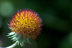 DSC_0820 (dmnq_fenot) Tags: 7dwf flora macro closeup