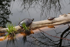 Turtle with baby (pilechko) Tags: bowmanshill newhope buckscounty pennsylvania color water pond animals turtles log reflections reptiles