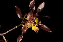 Cepobaculum johannis (andreas lambrianides) Tags: orchidaceae chocolateorchid dendrobiumjohannis australianflora australiannativeplants australianrainforests australianrainforestplants australianorchids australianrainforestorchids arfflowers brownarfflowers arfp monsoonarf orchids qldrfp cepobaculumjohannis