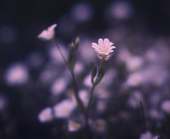 Bittersweet (shawn›raisin d+p) Tags: fujifilmxt10 shawnwhite stellariaholostea bokeh dream dreamy enchanting flower greaterstitchwort mystic nostalgia reflective reminisce reminiscing serene stitchwort tranquil vintage stackpole wales unitedkingdom gb