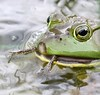 Cannibalism (Jeannine St-Amour Photography) Tags: amphibian frog bullfrog nature wildlife cannibalism