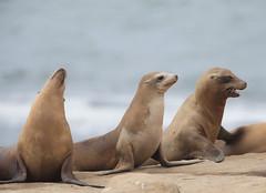 1DX11773 View Large.  Wild Sea Lion pups. La Jolla Cove, California (E.W. Smit Wildlife) Tags: gitzo gitzotripod g1325mk2 gitzog1325mk2 gitzog1325mk2tripod wimberley wimberleygimbalheadwh200 wimberleygimbalhead wimberleywh200 gimbalhead wildanimals tourist tourists telephotolens tripod unitedstatesofamerica usa outdoor outdoors supertelephotolens ocean pacificocean animal animals socal southerncalifornia lajolla lajollacove lajollacovesandiegocalifornia sandiego california canon nature cove wave waves canonef500mmf4lisusm ef500mmf4lisusm ef500mmf4lis wildlife sealion sealions mammal depthoffield canonef500mmf4lis canonef2xextender canonef2xiii canonef2xextenderiii 1dx eos1dx canon1dx canoneos1dx ef500mmf4lis2xiii 2xiii canonef500mmf4lis2xiii ef500mmf4lisusm2xiii canonef500mmf4lisusm2xiii