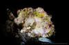 F I S H (irwinunderwater) Tags: irwinunderwater irwinang irwinfansclub underwaterphotograhy scubadiving ocean diver nikonasia underwater uwphoto picoftheday potd diveindonesia natgeo bali lighting noodilab indonesia tulamben antennarius underwaterworld randallsfrogfish frogfish padi diverlife iamnikon instadive uwphotography