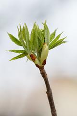 Opening (Bloui) Tags: 2017 botanicalgarden eos7d jardinbotanique roseraie april printemps spring montréal québec branch leaves macro