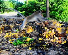 ,, Peek-a-Boo ,, (Jon in Thailand) Tags: wildlife wildlifephotography themonkeytemple jungle dog k9 mama jackfruit papaya bananas dognose dogeyes nikon d300 nikkor 175528 trees monkey primate jumpingmonkey monkeytail dogtail nature littledoglaughedstories