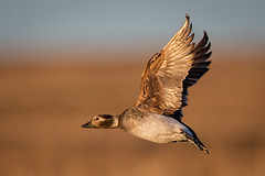 Long-tailed Duck (Eric Gofreed) Tags: alaska barrow duck longtailedduck