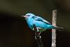 Blue Dacnis (Garrett Lau) Tags: aguascalientes bluedacnis machupicchu peru birds