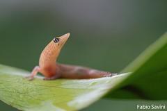 Sphaerodactylus elegans (Fabio Savini) Tags: cuba viñales ashy gecko elegans sphaerodactylus mogotes pinar del rio caraibi fabio savini naturalistic photo salamanquita