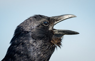 Crow with a cold?
