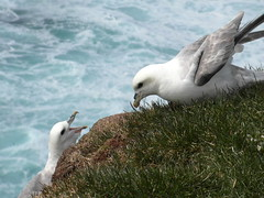 latrabjarg hungry (kexi) Tags: iceland europe latrabjarg nature north birds two pair 2 hungry feeding seagulls blue white green water ocean atlanticocean samsung wb690 may 2016 emotion cliff instantfave