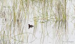 Little Grebe (Rob Blanken) Tags: littlegrebe dodaars high key