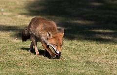 Fox (cogs2011) Tags: fox sun hot canon wow best sigma 150600c