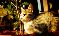 Sindy 0001 (mcg0011) Tags: gata kitty mykitty gatita felino gatti manuelcarrasco