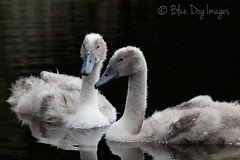Reflections (Blue Dog Images) Tags: cygnets norfolk canon pond reflections 7dmarkii