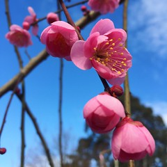 Weeping Apricot Blossoms (Blerick Tree Farm) Tags: flowering apricot blossom pink pinkflower treefarm weepingapricot weeping beautiful gippsland