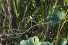 Collared Kingfisher 200B4211 WEB (Firefly Photos Australia) Tags: kakadu northernterritory australia australianwildlife fireflyphotos fireflyphotosaustralia nature collaredkingfisher birds australianbird