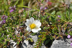 Mountain Avens. (mcgrath.dominic) Tags: mountainavens dryasoctopetala theburren wildflowers coclare