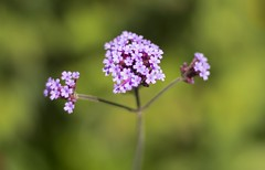 Bloom (HattyGlaird) Tags: flower nature scotland pink purple green outside happy summer spring bloom 50mm nikon d3300 plant plants petals