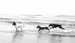 Runswick-Whitby.WEB-12 (LazenbyVisuals) Tags: dog dogs spaniels cocker springer beach walk walking runswick bay yorkshire coast dachshund black white mono monochrome monochromatic