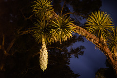 flowering yucca palm (pbo31) Tags: sanfrancisco california nikon d810 color night dark black boury pbo31 summer july 2017 city goldengatepark conservatoryofflowers palm yucca flowering bloom hanging nature earth flora