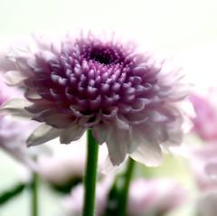 Love me Tender (barbara_donders) Tags: flowers bloemen roze pink wit wings steel bokeh summer zomer prachtig beauty beautifull mooi magical nature natuur
