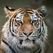 Sibirischer Tiger ´Katinka´ (Fotofee1900) Tags: tiger sibirischertiger katinka tiergarten nürnberg zoo nuremberg nikon