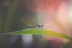 What you lookin at ? (der_peste) Tags: damselfly dragonfly macro proxy colors insect closeup bokeh dof depthoffield shallowdepthoffield nature animal naturephotography summer sonya6300 sonyilce6300 sel90m28g