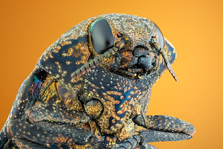 A Wood-boring Beetle