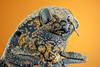 A Wood-boring Beetle (zgrkrmblr) Tags: macro macrophotography bug focusstack sonya7 newport433 manfrotto410 manfrotto357 berlebachminitripod sunwayfoto arthropoda insect böcek makro studiostack woodboringbeetle capnodistenebricosa jewelbeetle 5xmitutoyomplanapona014infinitycorrectedlongwdobjective raynoxdcr150 nikonpb6bellows entomology coleoptera
