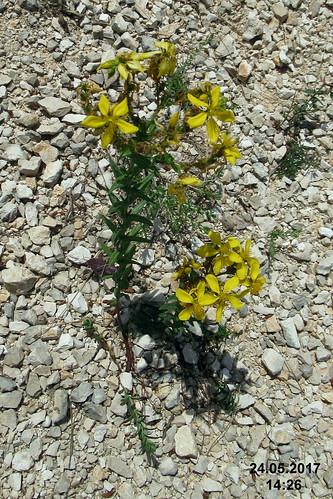 Zakynthos flora