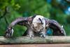 Les Aigles du Léman-53 (Diving Pete) Tags: beardedvulture birds birdsofprey frenchalps gypaetusbarbatus intobeyondphotography location vultures