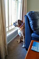 boxer dog pets