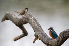 _ND55264_DxO.jpg (Pixelkeeper) Tags: bird eisvogel commonkingfisher wildlife