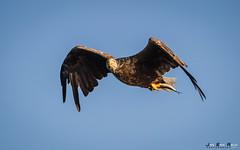 Havørn-8524 (jarud) Tags: 2017 eagle fugl havørn naturopplevelser norge norway smøla whitetailed ørn