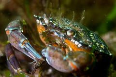 Green crab eating isopod (Shure Media) Tags: rockport massachusetts old garden beach hermit crab green barnacle nudibranch rock