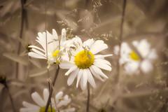 Beautiful flowers .. (Just Julie - Photography) Tags: flowers nature park graden