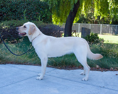 Sinead side (Guide Dogs for the Blind) Tags: breeder brood