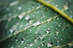 Rain Drops On A Leaf (A Guy Taking Pictures) Tags: green leaf drops rain camera sony a6000 macro close up dew stem hair water weather shades tone