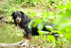 30/52 Weeks for Maddy (ginam6p) Tags: dog nikon toronto wet 52weeksfordogs australianshepherd creek maddy