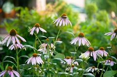 Fading of the Cone Flowers (Orbmiser) Tags: cone flowers 55200vr d90 garden nikon oregon portland sidewalk summer