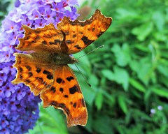 """""""Comma Butterfly"""" (seanwalsh4) Tags: commabutterfly bristol brown red beautiful flutter happy summer nice"""