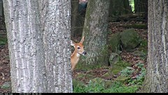Fawn Vocalizations   video 2017-07-16 065823-1 (DCLbyrdnyrd) Tags: video dclwebcam fawn whitetailed deer vocalization
