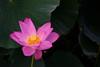 Kenilworth Aquatic Gardens_2017-13 (Nikon Blair) Tags: kenilworthaquaticgardens washingtondc flowers lotusflowers lilypad