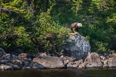 Pygargue Sauvage (martinmenard757) Tags: pygargue martin menard baiejames jamesbay quebec canada bald eagle aigle