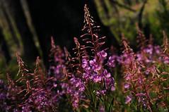 DSC_0522 (cintia scola) Tags: cíntiascola nikond300 summer2017 wildflowers
